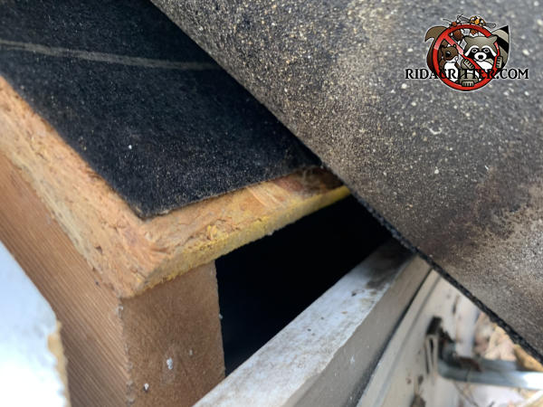 Lifted shingle reveals an inch and a half gap between the wood roof sheathing and and fascia that needs to be sealed to keep roof rats out of the attic of a house in Gainesville Georgia