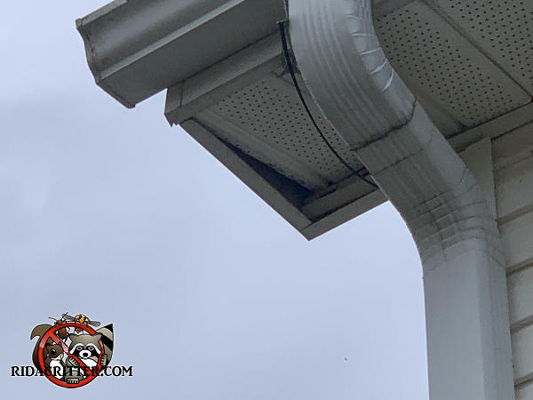 Rats pushed the outer piece of soffit panel next to the downspout upwards slightly into the soffit to get into the attic of a house in Lithonia Georgia