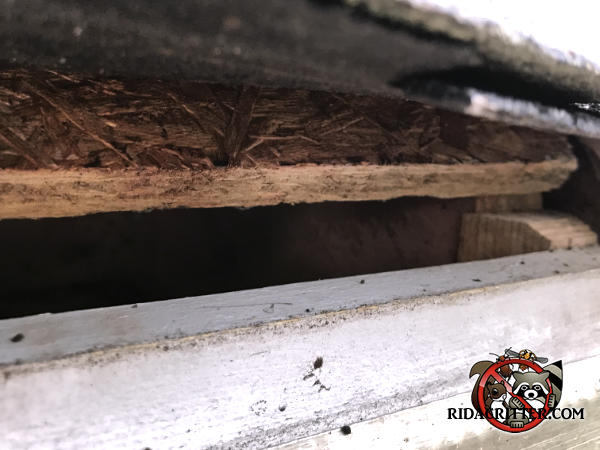 Gap of about an inch at the edge of the roof sheathing that allowed roof rats into the attic of a house in Soddy Daisy Tennessee