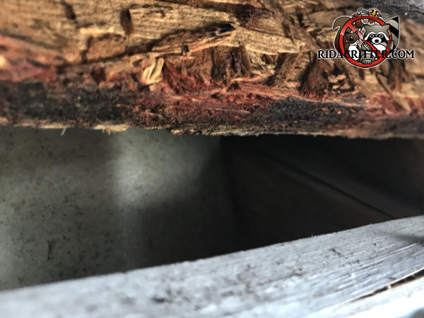 Gap of a bit over an inch between the roof sheathing and fascia allowed rats to get into a house in Tyrone Georgia