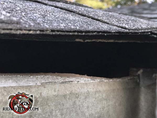 Roof rat gnawed at the wood behind the rain gutter to enlarge the construction gap