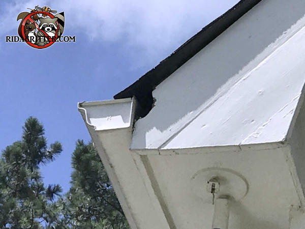 Roof rat hole in the wooden trim behind the rain gutter of a house in Acworth Georgia