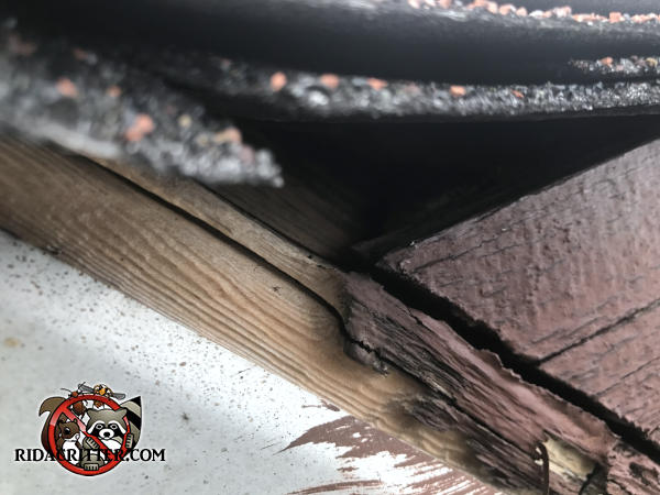 Roof rats got into the attic of a house in Atlanta through a gap between the shingles and the roof fascia