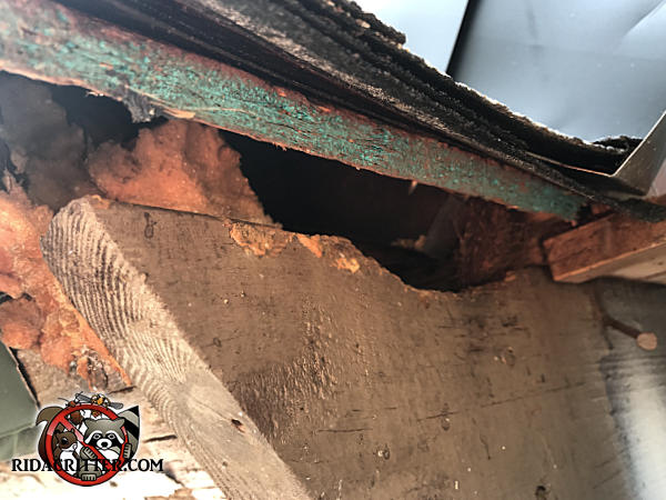 Roof rat hole that a rat chewed through a heavy wooden timber to get into the attic of a house in Johns Creek Georgia