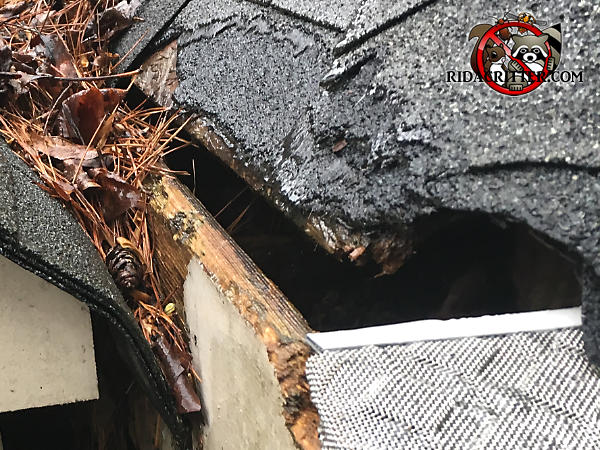 Roof rats gnawed through the shingles and roof sheathing to get into the attic of a house in Roswell Georgia