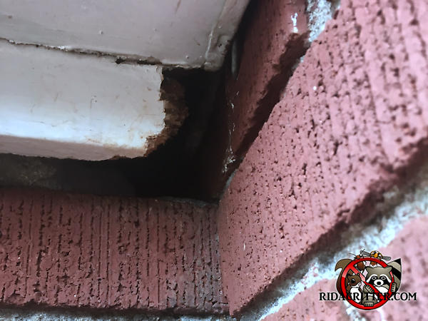 Roof rats chewed through the end of a piece of wooden trim and into a brick house in Temple Georgia