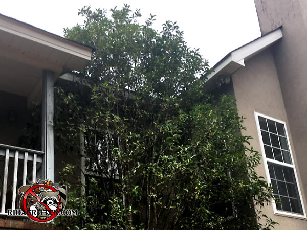 A tree with multiple trunks extends all the way from the ground to the roof of an Atlanta home and allowed rats to climb up into the attic of the house