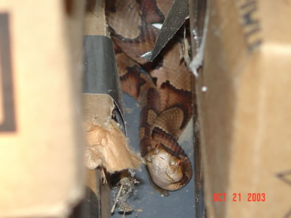 Perfect Copperhead Snake In A Garage In Mountain Brook