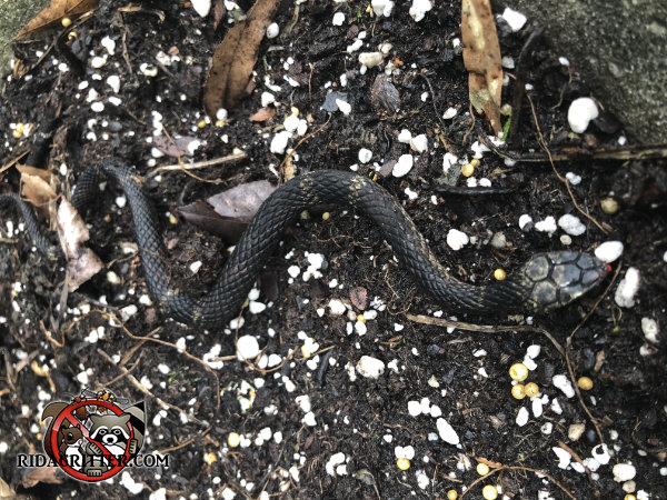 A rather realistic fake snake in the garden of a house in Chattanooga that triggered a snake removal call