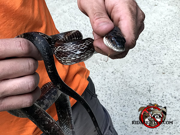 Technician holding a king snake in his hands after removing it from a house in Atlanta