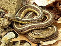 A Common garter Snake, coiled on some rocks and leaves