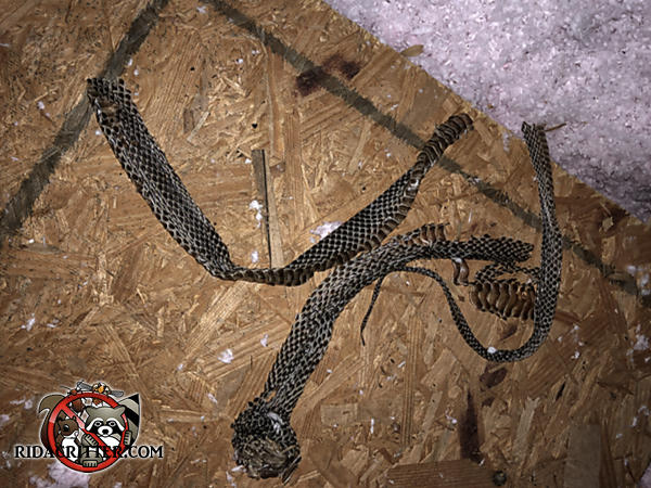 Shed snake skin on the plywood floor in the attic of a house in Atlanta