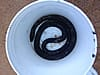 A black rat snake trapped and removed from a crawl space in Birmingham, Alabama