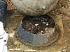A king snake with eggs outside a home in Macon, Georgia