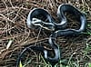 Black rat snake in the grass outside a house in Barnesville Georgia