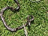 Snared rat snake on the grass after being removed from under a porch in Athens, Georgia
