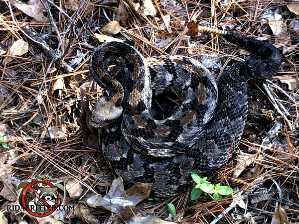 Timber rattlesnake coiled up on the ground after being removed from under the porch of a house in Atlanta