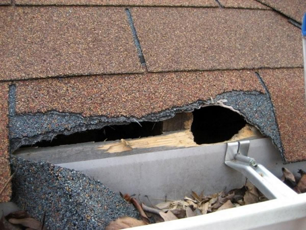 Gnawed Shingles And Rain Gutter Need To Be Repaired On An