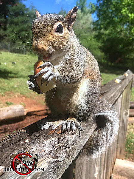 Squirrel standing on a deck rail eating a piece of apple outside a house in Stone Mountain Georgia
