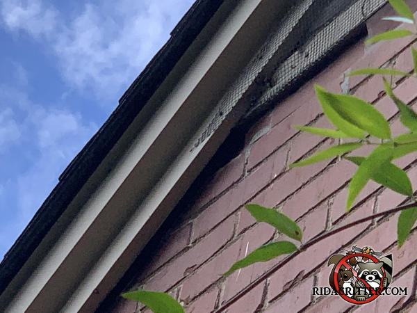 A handyman screened the gable vent to keep squirrels out of a Decatur Georgia home but left gaps behind the roof trim and a missing brick that allowed the squirrels to get in anyway.