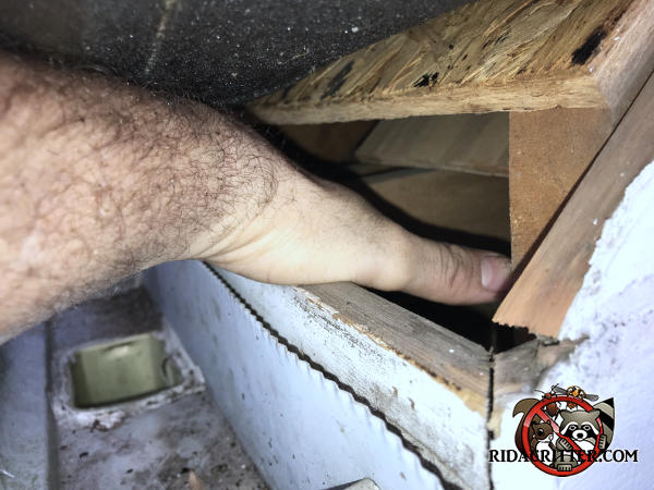 Technician extending his hand into a four inch gap between the roof sheathing and fascia that allowed squirrels into the attic of a house in Atlanta