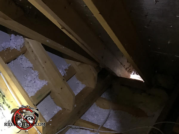 Sunlight shining into the attic through the eave of the roof revealed how squirrels got into the attic of a house in Canton Georgia