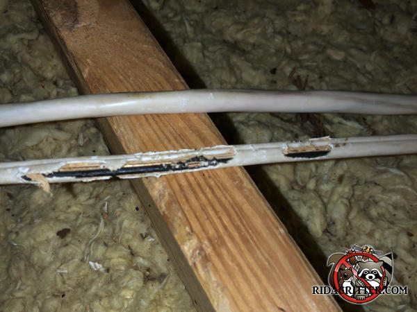 Squirrels gnawed through the insulation of the electrical wires in the unfinished attic of a house in Atlanta
