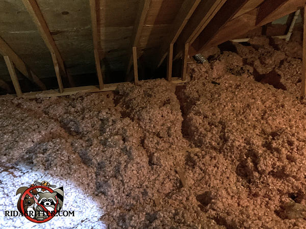 Extensive squirrel burrows through the blown in insulation between the joists in the unfinished attic of a Johns Creek Georgia home.