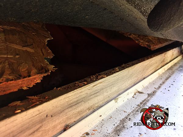 Squirrel gnawed a hole about four inches wide in the roof sheathing of a house in Atlanta