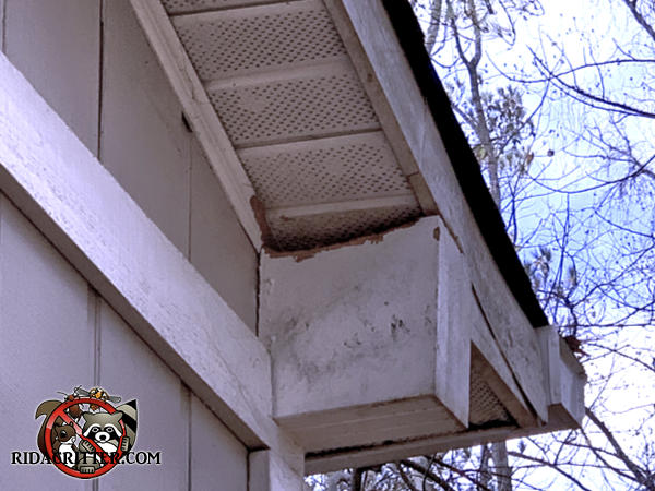 Squirrel chewed the wood at a space between a hollow wooden box beam and the soffit panel of a house in Atlanta