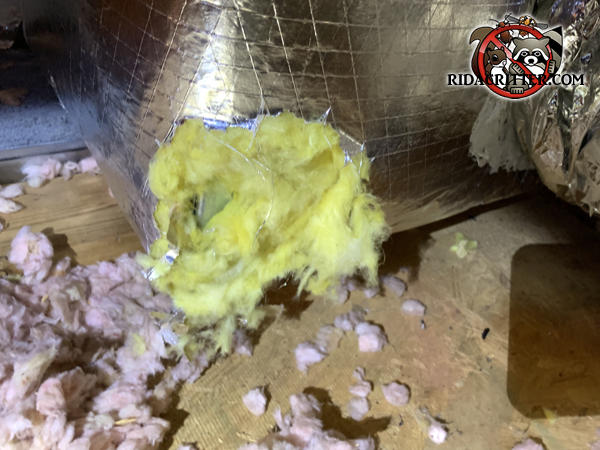 Squirrels chewed at the corner of an insulated heating duct in the attic of a house in Powder Springs
