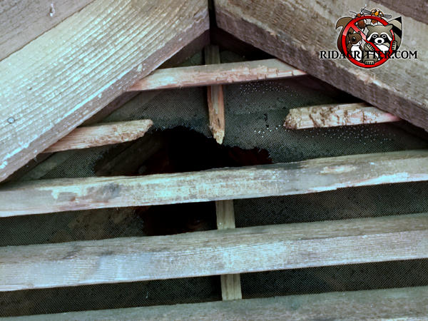 Squirrels gnawed through the wooden slats and the screen behind them to get into the attic of an old wooden house in Macon Georgia