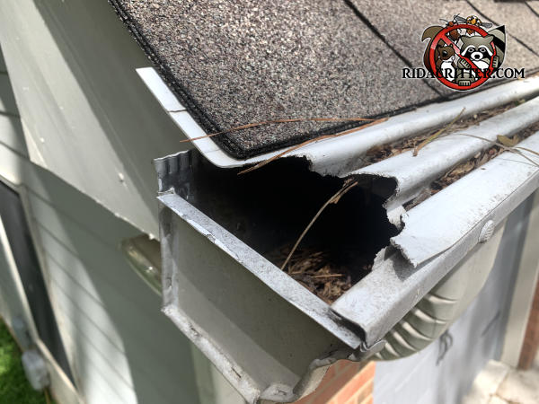 Squirrels chewed a baseball sized portion out of the end of the vinyl rain gutter cover of a house in Powder Springs Georgia