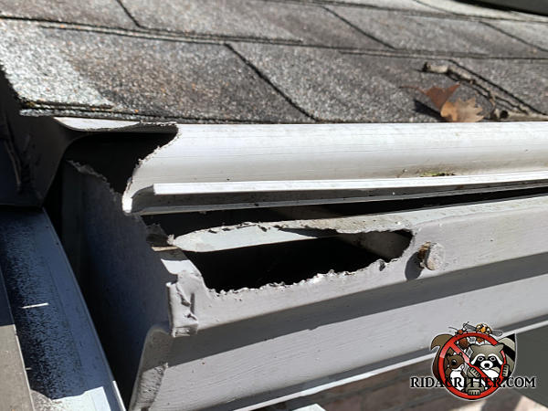 Squirrels gnawed about a six inch jagged hole through the edge of the metal rain gutter and cover at a house in Rome Georgia.