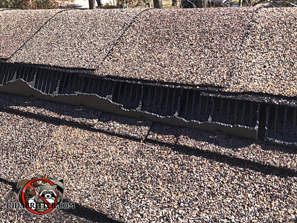 Squirrels badly chewed the plastic ridge vent on the peak of the roof of a house in Chattanooga Tennessee