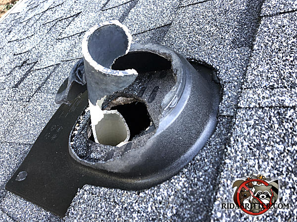 The roof vent of a house in Atlanta has been severely chewed up by squirrels to the point that most of it is missing