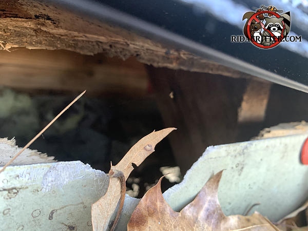 Squirrels gnawed through the wooden fascia and the metal rain gutter to get into the attic of a house in Roswell Georgia.