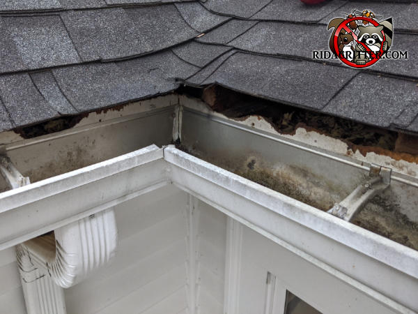 Several feet of the wooden roof fascia of a house in Roswell Georgia have been almost completely gnawed away by squirrels