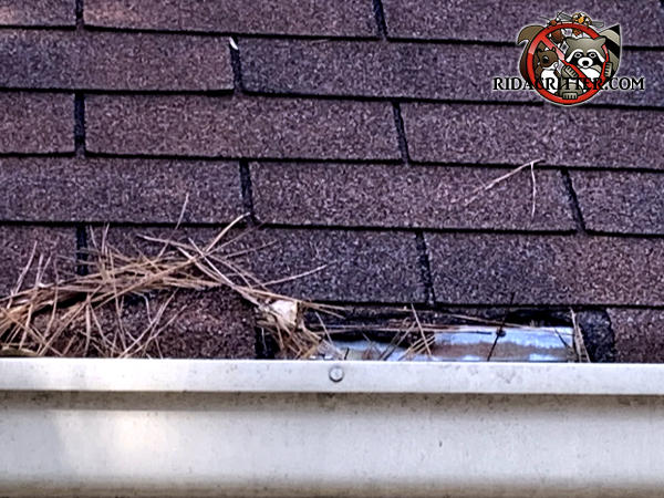 Squirrels gnawed the edges of the shingles near the rain gutter to get into the attic of a house in Atlanta