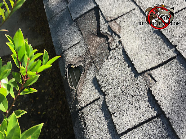 Squirrels chewed up the outer course of the roof shingles at a house in Decatur Georgia