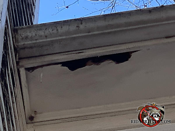Squirrels gnawed at about 18 inches of the edge of the soffit panel behind the rain gutter at a house in Middle Valley Tennessee