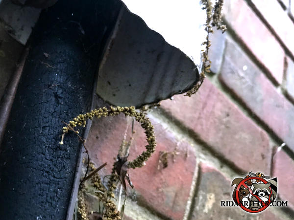 Bottom of a downspout with an insulated pipe inside that squirrels used to get into the attic of a house in Carrollton Georgia