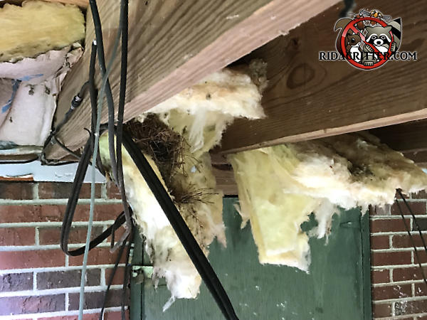Squirrels built a drey of twigs over the sill plate under the deck of a house in Chattanooga