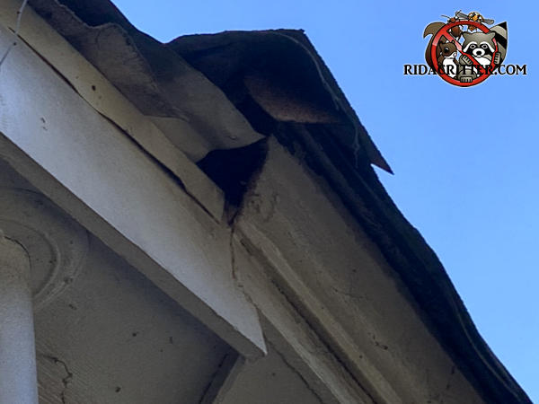 The crown molding ends abruptly and the end is exposed which allowed squirrels into the attic of a house in Atlanta