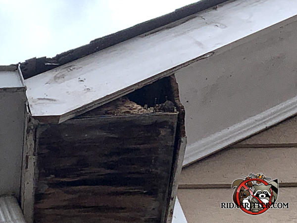 Squirrel chewed a hole through the end of what looks like a water damaged roof soffit