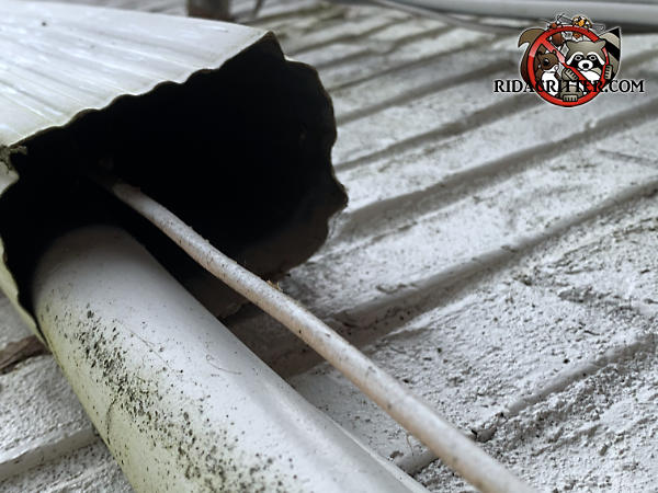 The bottom of a downspout with an insulated air conditioning line inside it that squirrels climbed up to get into the attic of a house in Atlanta.