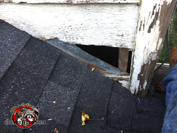 Triangular gap in the siding of a house in Atlanta allowed gray squirrels to get into the house