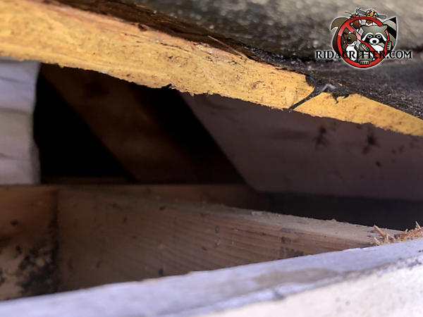 Tapered squirrel entry gap between the roof sheathing and fascia is about three inches at the wide end