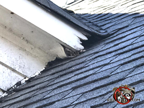 Water rot at a roof junction of a house in Sandy Springs Georgia allowed squirrels into the attic