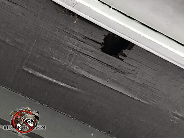 Squirrel hole in the water damaged soffit panel of a house in Kennesaw Georgia looks more poked through the wood than chewed